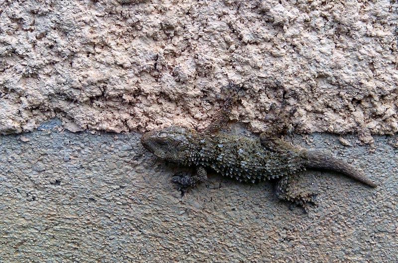 Gecko-Tarente-de-Maurétanie Adulte.jpg